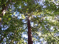 Redwood canopy . . .